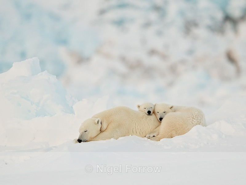Polar Bear family sleeping, Svalbard, Norway - Polar Bear