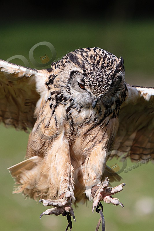 Jasmine is our Bengal or Indian Eagle Owl - Our Birds