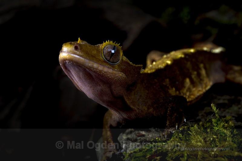 Crested Gecko - Flora & Fauna