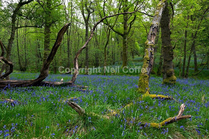 Bluebell forest, Inchcailloch, Loch Lomond, The Trossachs - Landscape format