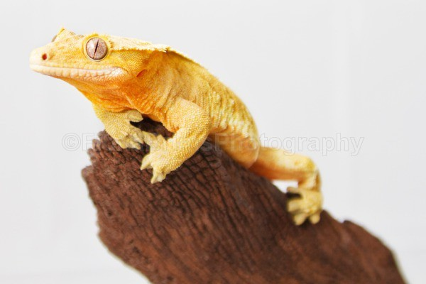 Ridgies-4 lo - Reptile Photography