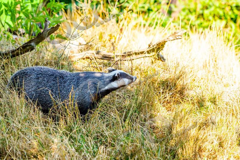 badger Meles meles-1131 - UK Wildlife
