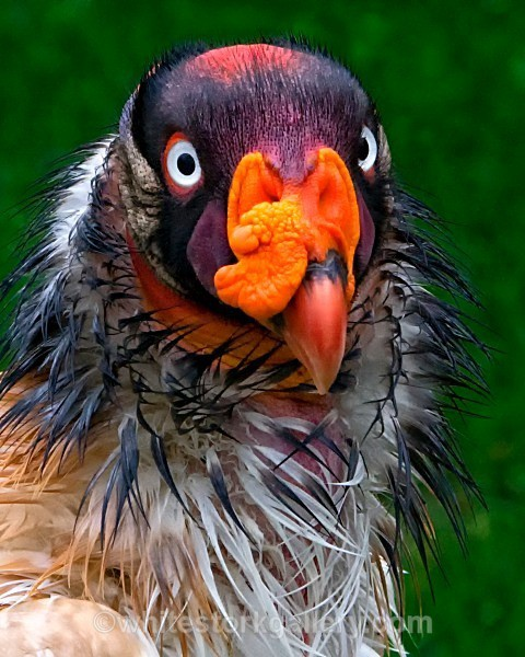 King Vulture - Wildlife and Animals