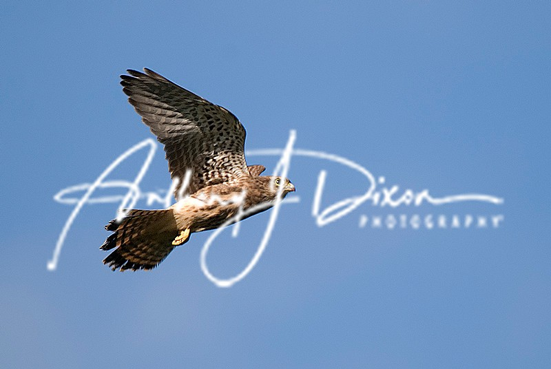 Common Kestrel - Latest Images