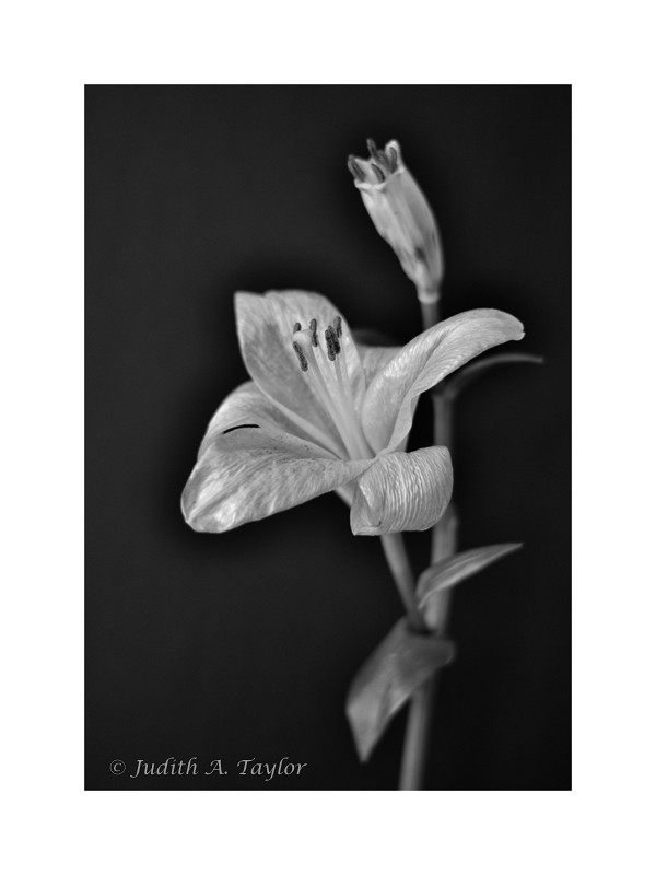 Lily, flower and bud