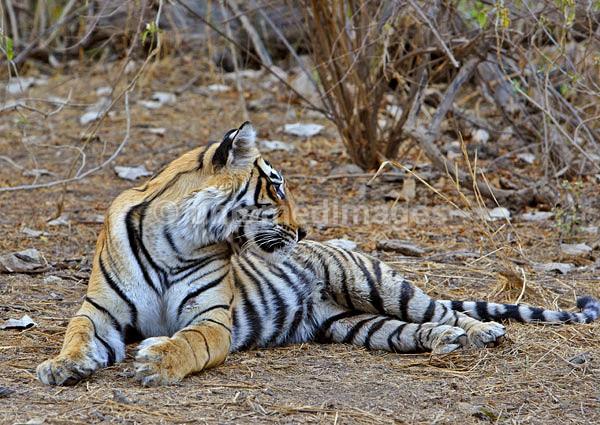 Royal bengal tiger - 8 - India