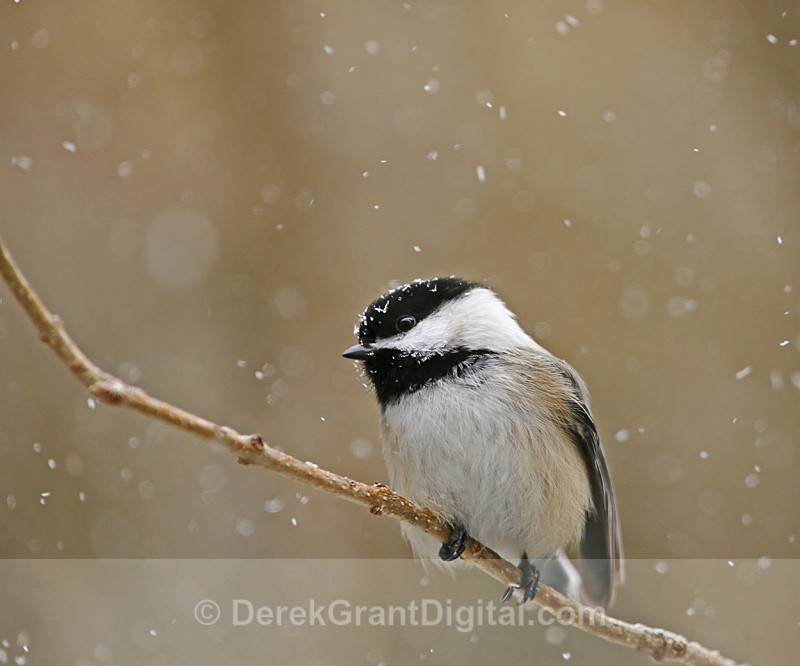Black-capped Chickadee: Weathering the Storm - Birds of Atlantic Canada