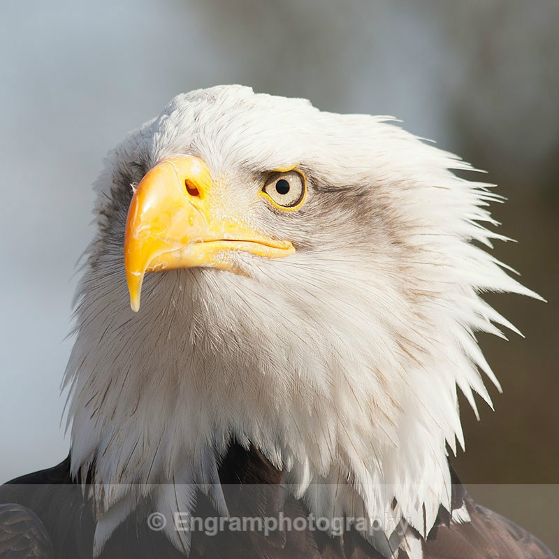 Bald Eagle-R6073 - Birds