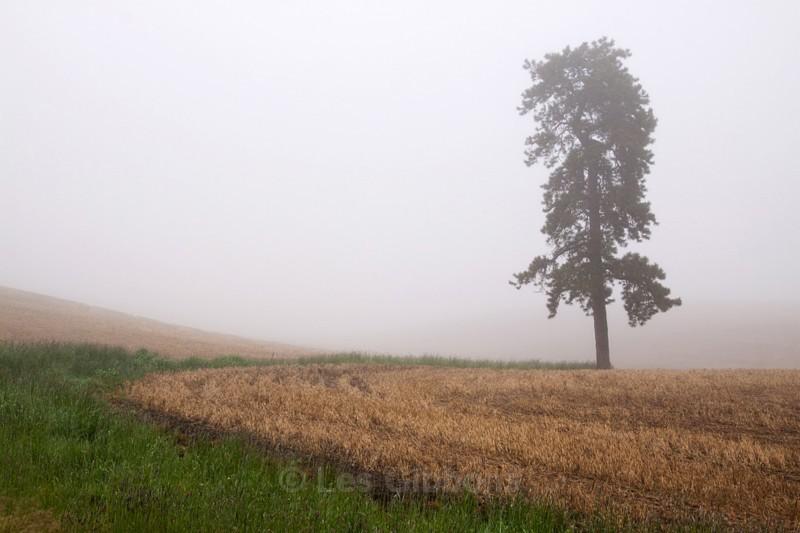 tree in mist - Palouse