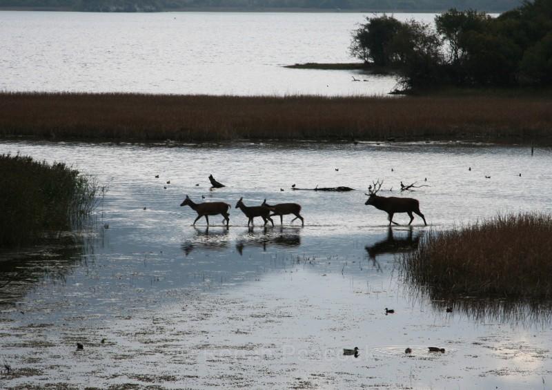 Deer - Nature