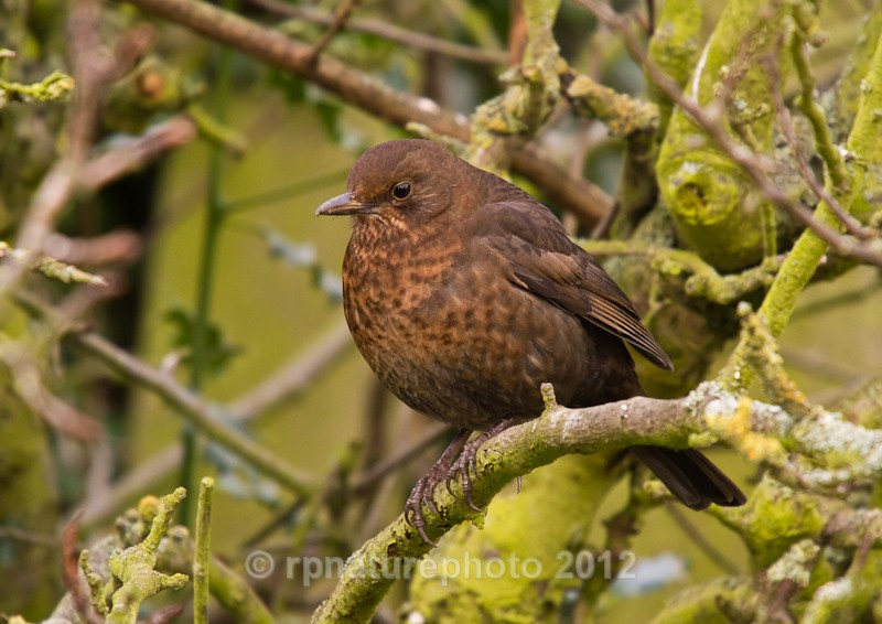 Blackbird (female) - Turdus merula RPNP0134 - Birds