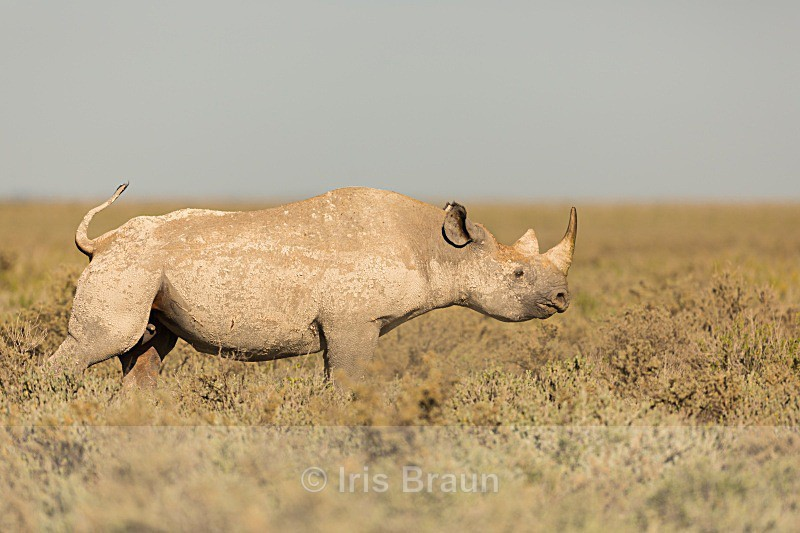 Streching - Rhino