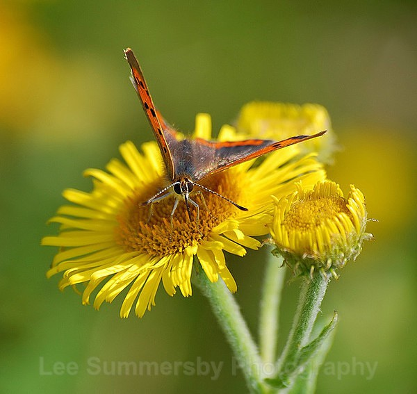 Small Copper on Ragwort - Butterflies and Moths