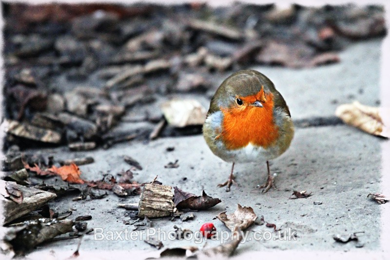 Foraging Robin - Miscellaneous