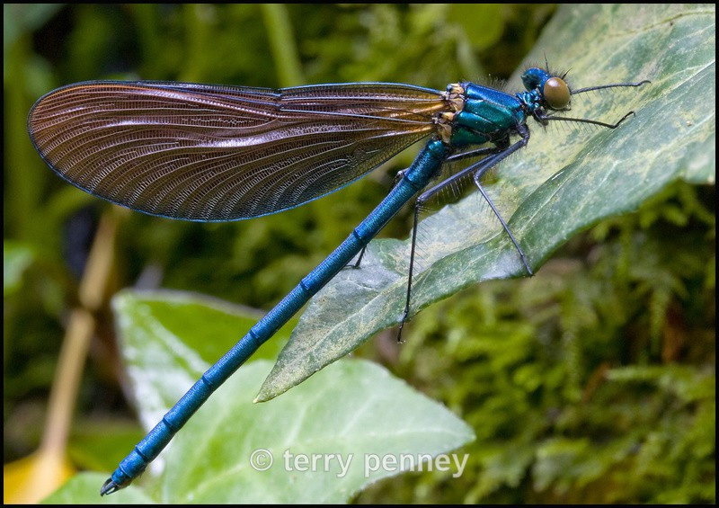 Damselfly - Insects & Spiders