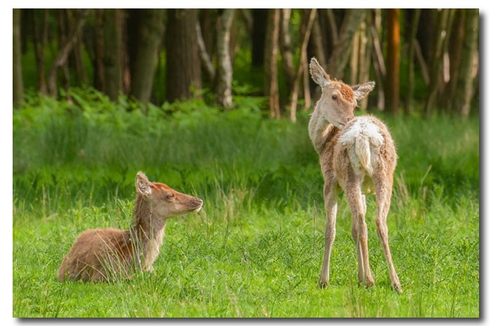 Fawns - Nature