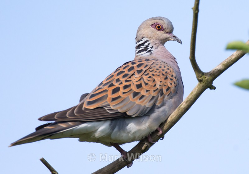 Turtle Dove - The rest.....