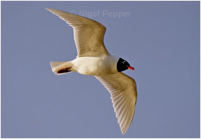 Adult Med Gull ( 3 ) - Gulls