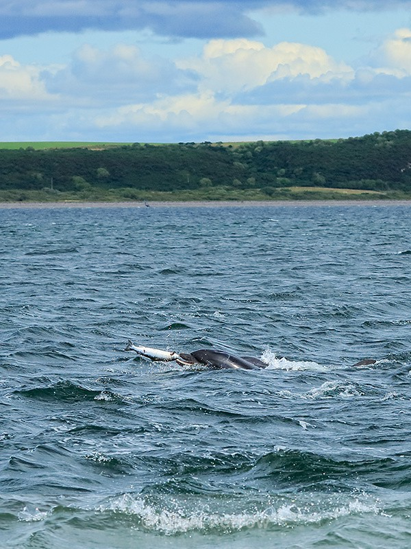 Dolphin tossing fish, Chanonry Point, Scotland - Dolphin