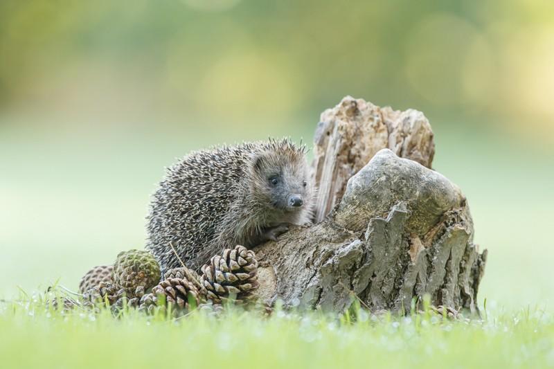 HHB - Hedgehogs