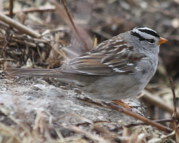 White Crowned Sparrow - Nevada Birds