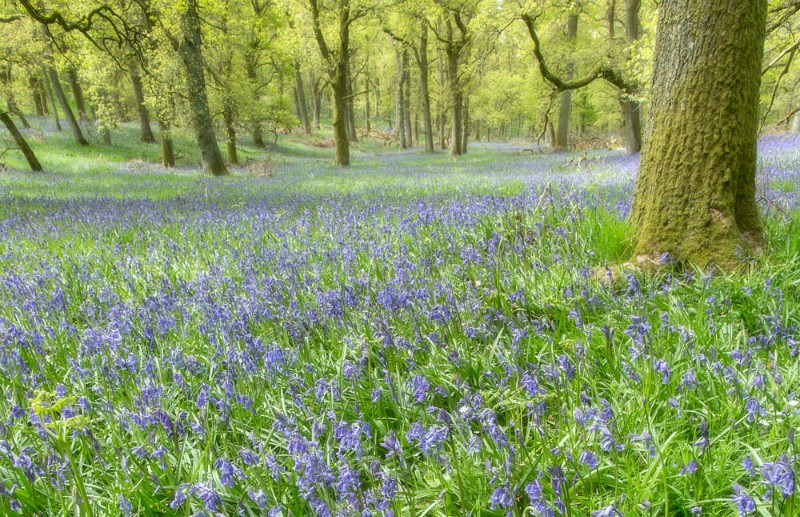 bluebell dream - Perthshire