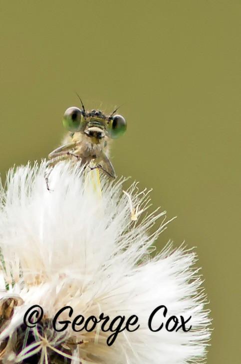 Female Azure Damselfly Head on!! - Dragonflies