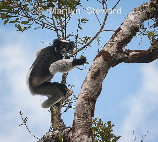 Indri lemur on the move - Exhibition acceptances