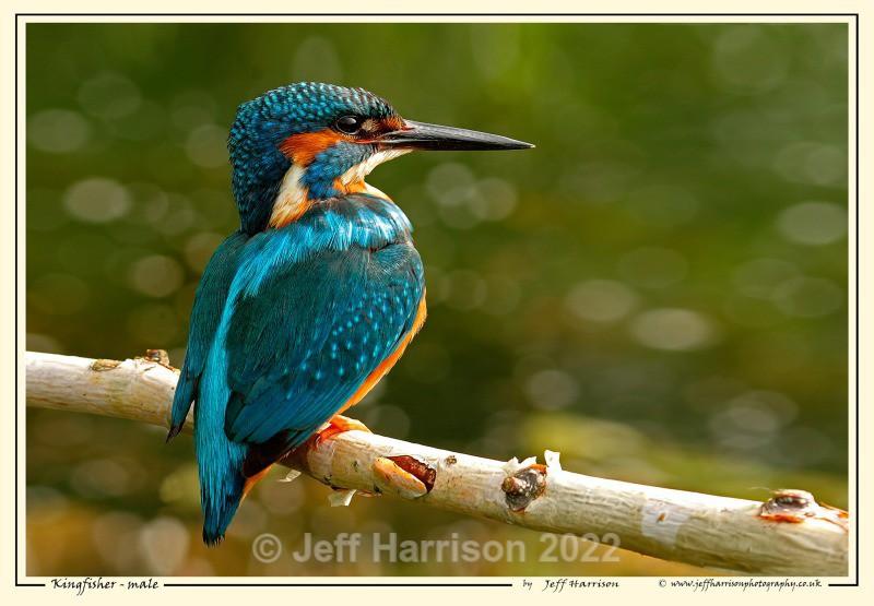 'Kingfisher - male' - Image Kf 001 - Kingfishers