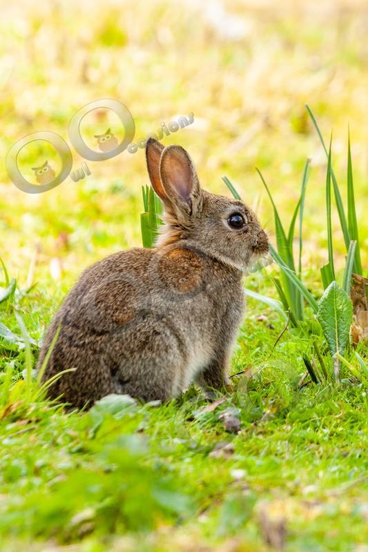 wild rabbit Oryctolagus cuniculus-5971 - UK Wildlife