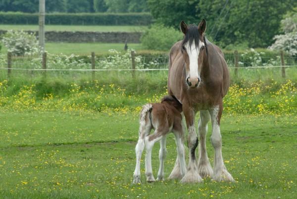 ryecroft-11 - Clydesdales 2013 Include Foals