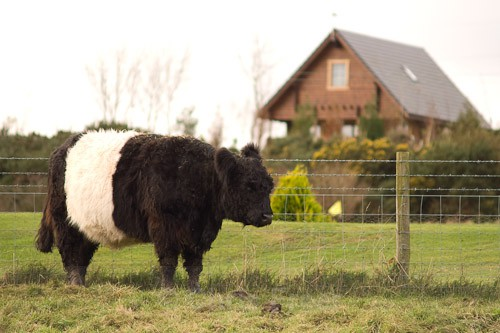 19 - Belted Galloway Cattle