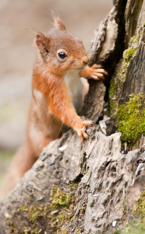 Red Squirrel - Animals