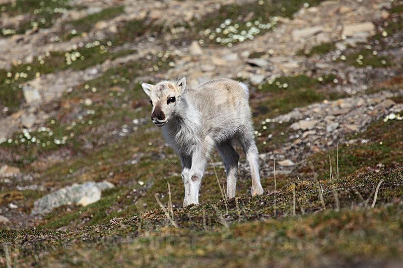 Reindeer 5 - Latest Photos