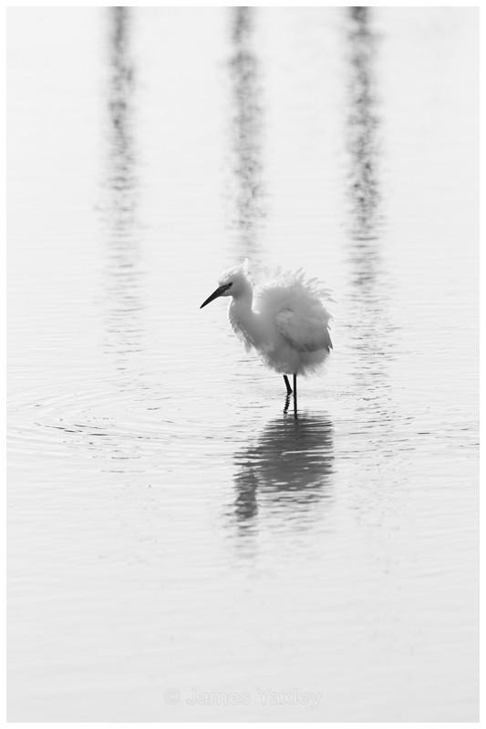 Little Egret at Thornham Staithes - Nature in Black & White