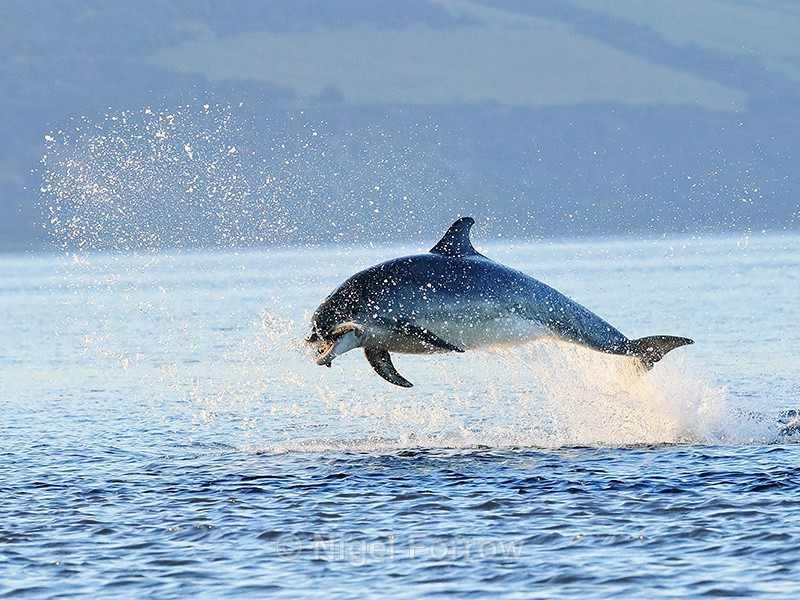 Jumping Bottlenose Dolphin with fish, Chanonry Point, Scotland - Dolphin