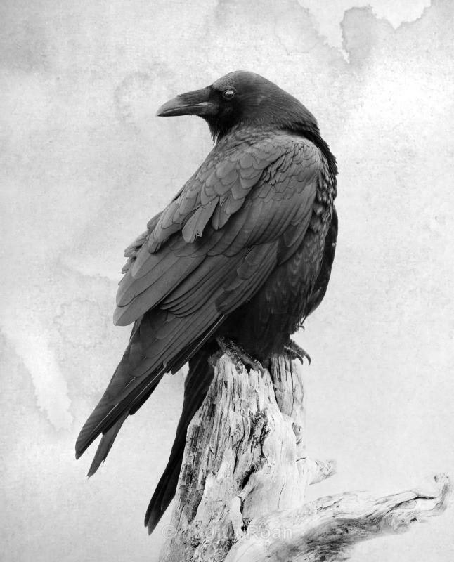 Common Raven - Backyard Birds of the Pacific Northwest
