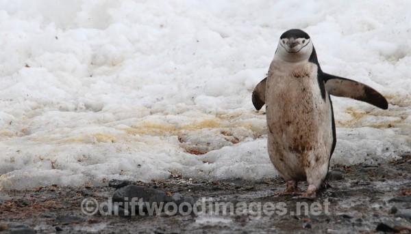 Chinstrap, Half Moon Island - Antarctica