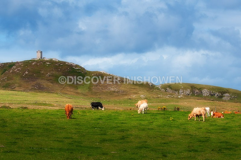 Cows grazing at field Ballyhillion, Malin Head - Nature