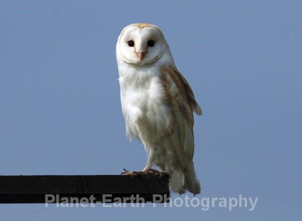 Barn Owl 2 - UK Wildlife