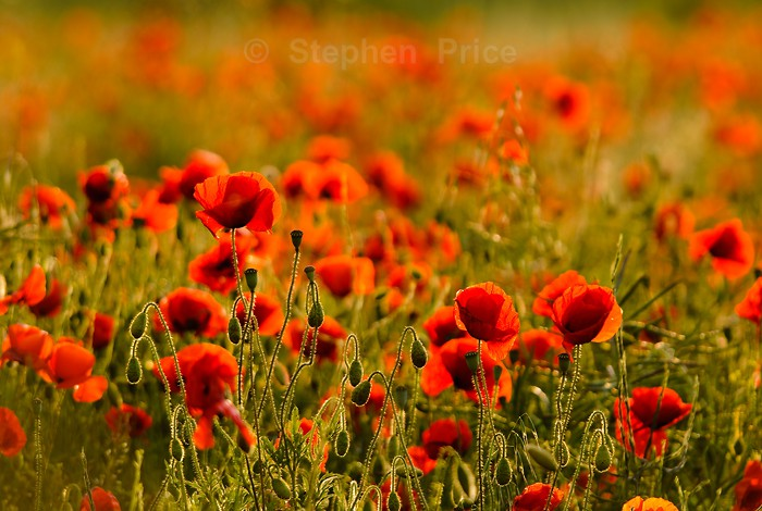 Poppy Field | Backlit Red Poppies | Summer Flowers