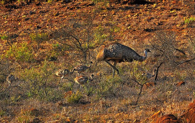 Male Emu and Chics-0806 - ANIMAL AND BIRD PHOTOS