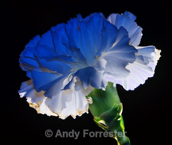 Cool Carnation - Low Light Flowers