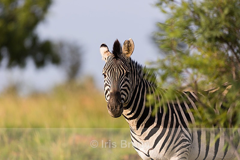 Zebra Around the Corner - Zebra