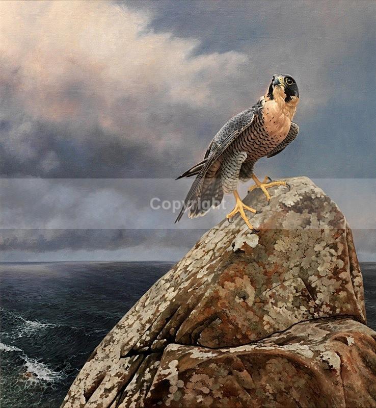 'WATCHING'   NORTH COAST PEREGRINE - BIRDS OF PREY