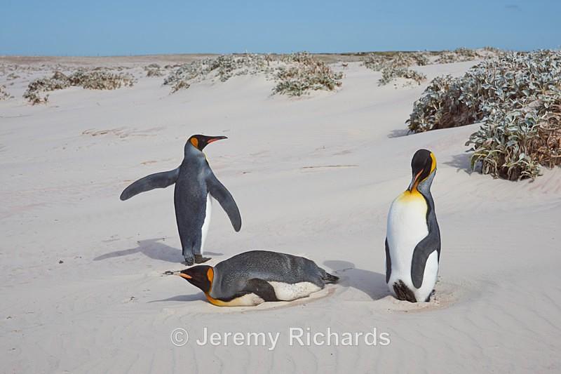 Trio of King Penguins - Volunteer Point
