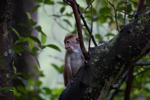 Macaque Monkey in Jungle in Ella Sri Lanka 18 - Sri Lanka wildlife, people & places