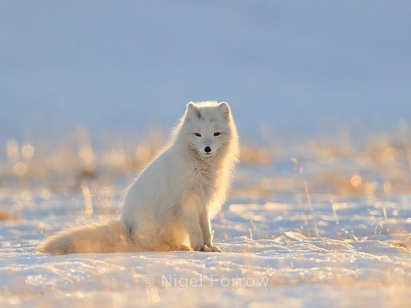Arctic Fox sitting, backlit, Svalbard, Norway - Arctic Fox