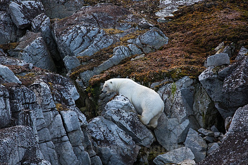 Polar bear  8051 - Trip with MS Expedition August 2016