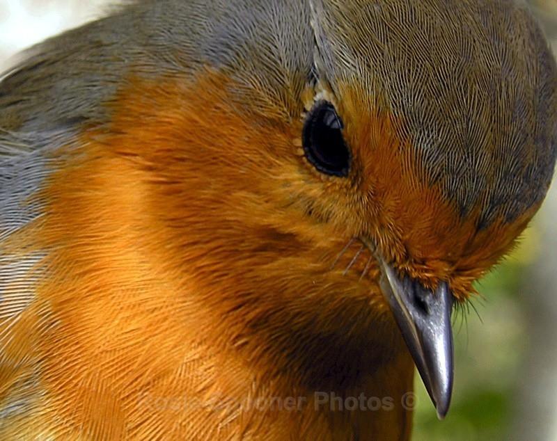 Watching Robin - Birds and Wildlife